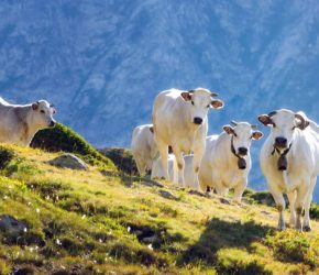 White piedmontese breed cows in the meadows of a mountain pasture on the Maritime Alps (Piedmont, Italy)