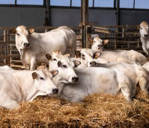 White Fassona piedmontese breed cows in the stable